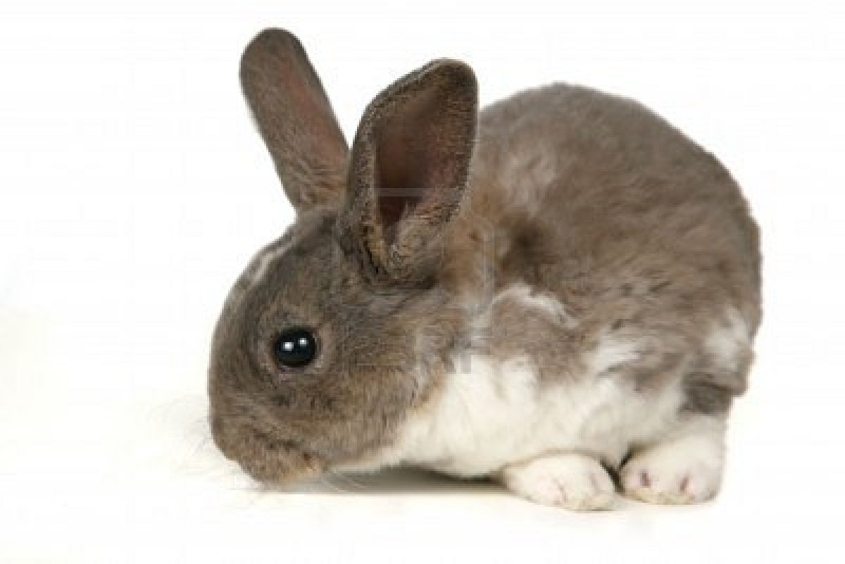 domestic rabbit and animal rabbit rabbits Clinical pathology in rabbits varies from that in other domestic animals the normal neutrophil:lymphocyte ratio is 1:1 the rabbit neutrophil is called a pseudoeosinophil or heterophil because of its red-staining cytoplasmic granules.
